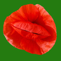 Red poppy on a green background