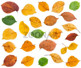 set of various leaves of elm trees isolated