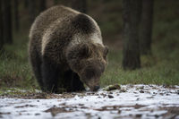 erster Schnee... Europäischer Braunbär *Ursus arctos*