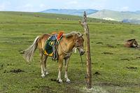 Aufgezäumtes Pferd steht an einem Pfahl angebunden in der Steppe, bei Erdenet, Mongolei