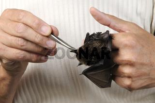 Breitfluegelfledermaus wird gefuettert, Eptesicus serotinus, Serotine Bat be feeding