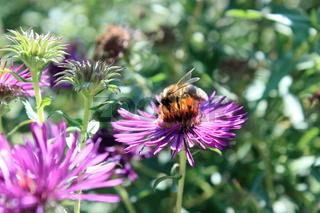 biene mit pollen auf aster
