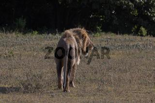Löwe auf der Lauer im Ngorongoro-Krater, Schutzgebiet