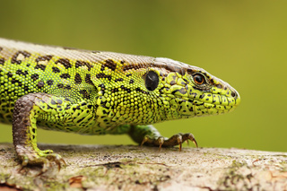 close up of male sand lizard ( Lacerta agilis )