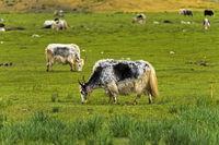 Yaks auf der Weide