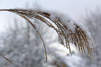 Gräser mit Schnee