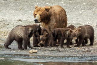 Brown bear with cubs on the shore of Kurile Lake.