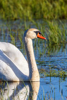 Portrait of a Mute Swan at a lake