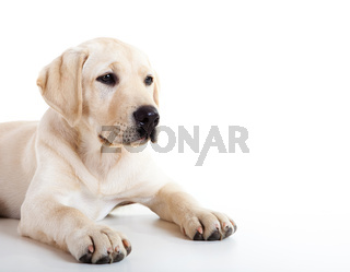 Cute labrador dog