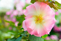 Rosa canina or dog rose fresh pink flower