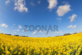 yellow canola field and blue sky