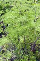 Kaschmirdolde, Selinum wallichianum, Heilpflanze