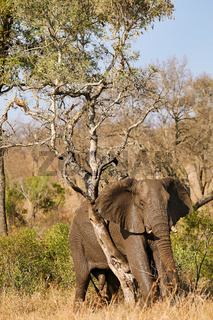 Elefant kratzt sich am Baum im Kruger Nationalpark Südafrika; african elephant scratching on a tree, south africa, wildlife