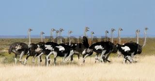 Straussengruppe-ostrich