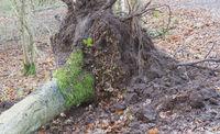 Fallen tree in a dutch forest