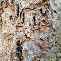 Alte Eiche mit Fraßspuren des Heldbocks