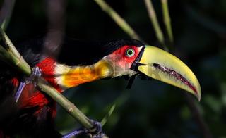 Ein Bunttukan im Regenwald Brasiliens