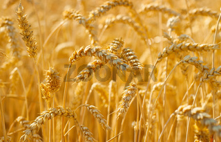 Wheat field crop. Background