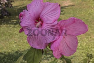 Hibiskusbluete (Hibiscus), Malvengewaechs (Malvaceae)