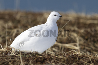 Rock Ptarmigan female tundra on the shores of Bering Island
