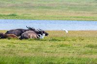 buffalo on lakeside