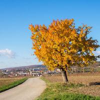 Kirschbaum mit gelben Blättern im Herbst dahinter Eisenstadt