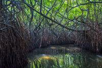 Mysterious mangrove forest, Madu Ganga, Sri Lanka