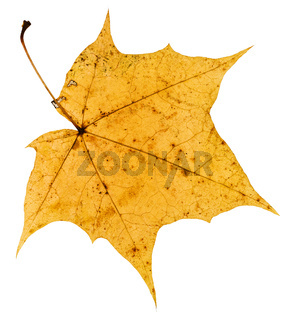 back side of old yellow autumn leaf of maple tree