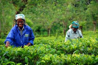 Tea Pickers At The Tea Plantation