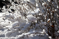 Close-up view of snow-covered bush in winter forest