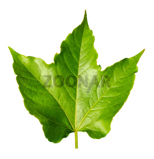 Perfect Green Sycamore  Leaf