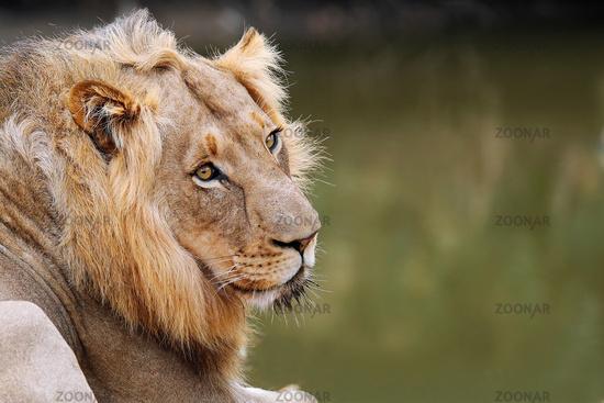 Löwe blickt sich um, Südafrika, male lion, South Africa