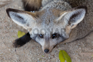 Bat eared fox Namibia