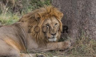 Löwe beim beobachten, im Serengeti Nationalpark