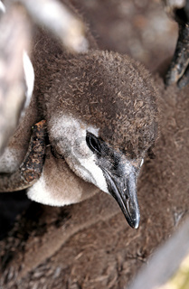 Junger Brillenpinguin, Stony Point, Südafrika, young African penguin, South Africa