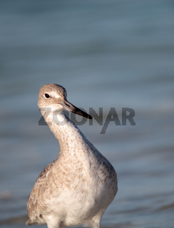 Willet shorebird Tringa semipalmata along the shore of Clam Pass