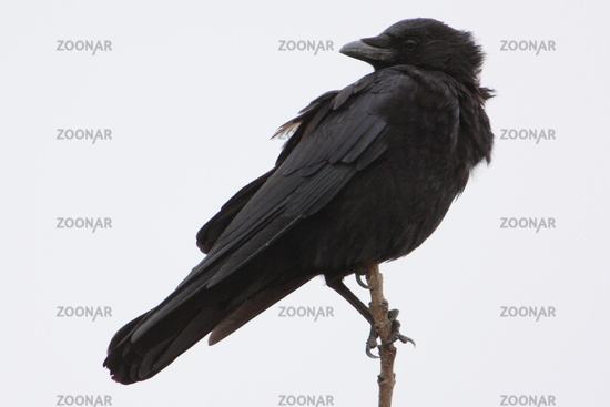 Aaskraehe, corvus corone, carrion crow