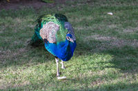 male peacock in front of green background, Feathers blue bird