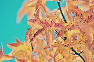 Maple (Acer saccharinum)