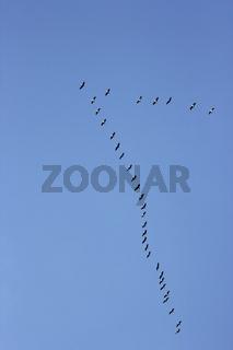 vogelzug formation himmel hochformat