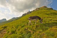 Grazing Donkey in the alp