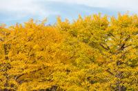 Ginkgo trees Autumn