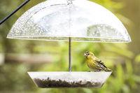 Siskin bird taking cover for the rain