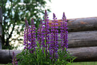 The family of wild blooming flower purple lupine Lupinus grows next to the future wooden house from a bar.