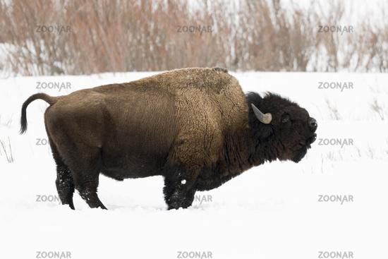 Urviecher...  Amerikanischer Bison *Bison bison*