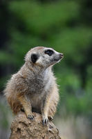 Close up portrait of meerkat looking away