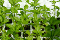 plant seedlings, padron peppers - pimiento padron