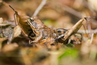 Erdkröte seitlich
