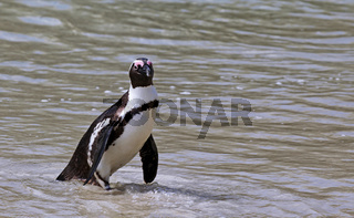 Brillenpinguin, Boulders Beach, Südafrika, African penguin, Boulders Beach, South Africa