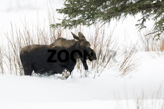 auf langen Beinen durch den hohen Schnee... Elch *Alces alces*